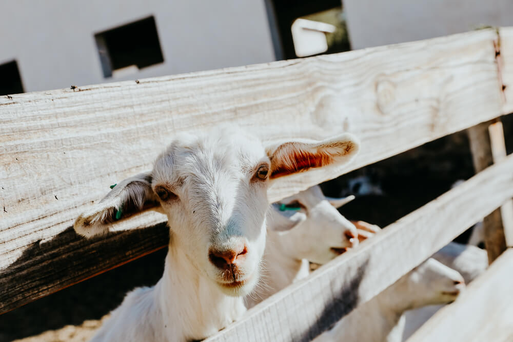 A goat peaks his head through the slats on a fence