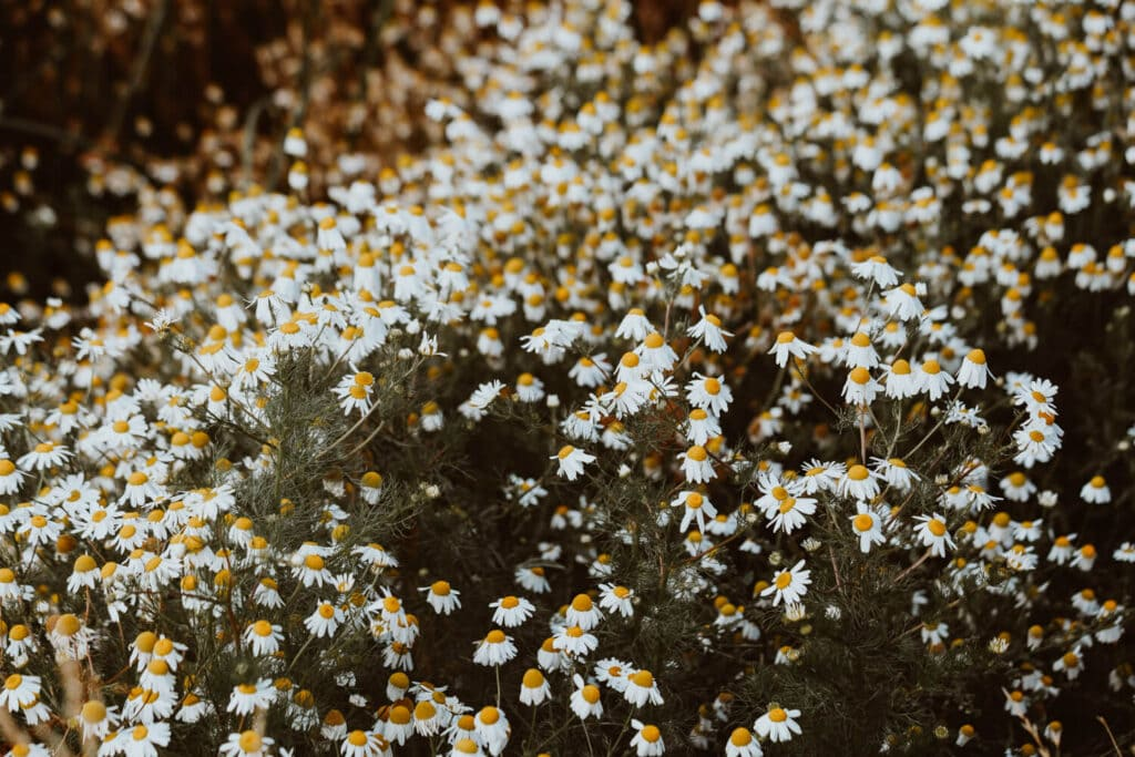 A field blanketed in small white chamomile flowers