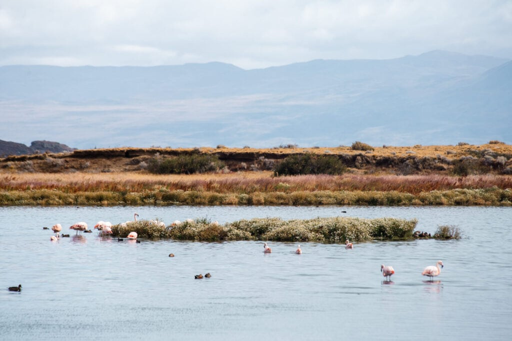 Flamingos stand in a lagoon surrounded by ducks swimming