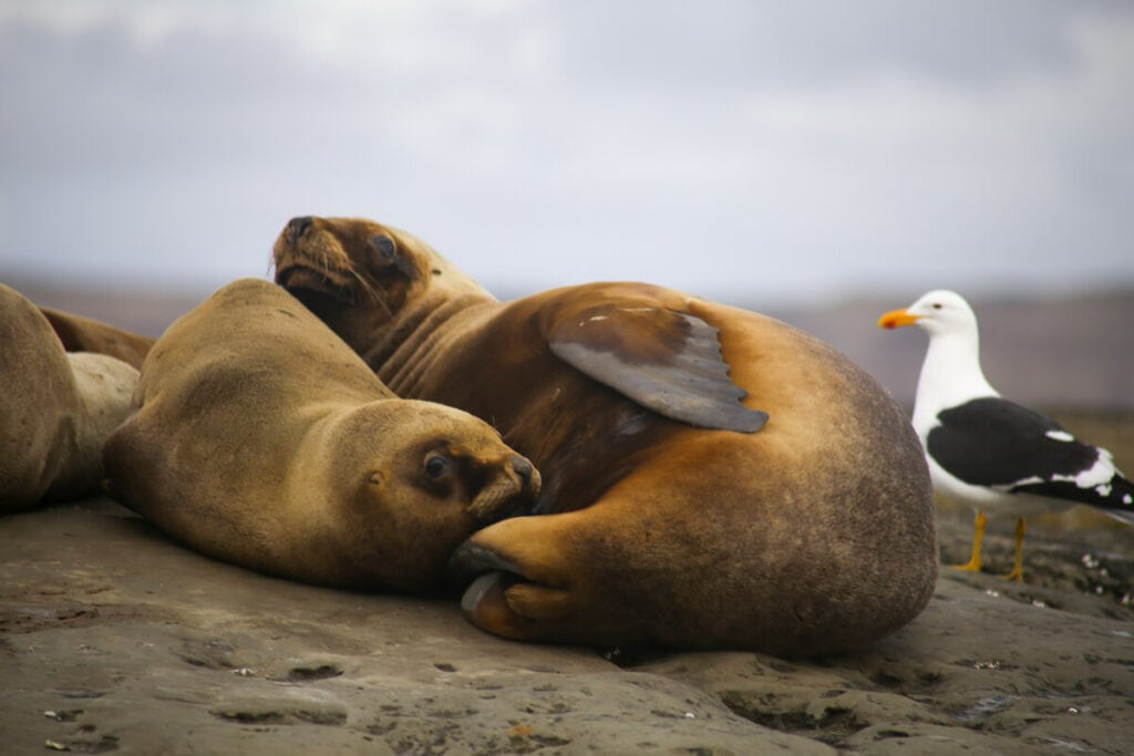 2 sea lions sleep curled up next to a seagull