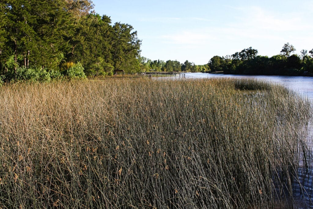 Tall grass grows out of a river