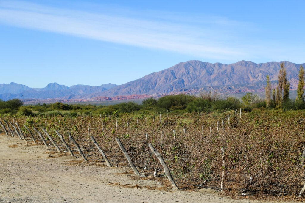 Lines of vines in a vineyard in front of red mountains in Cafayate