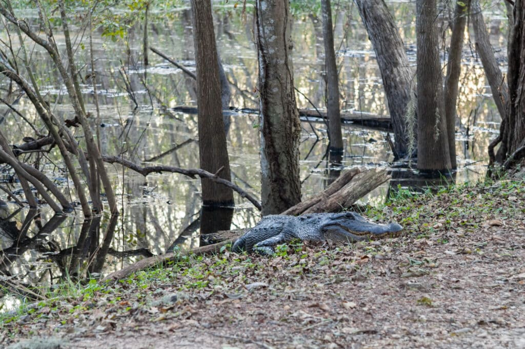 An alligator lies flat on the ground hidden by leaves and branches next to a swamp