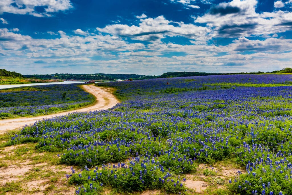A field of blue flowers with a dirt road snaking through the midddle