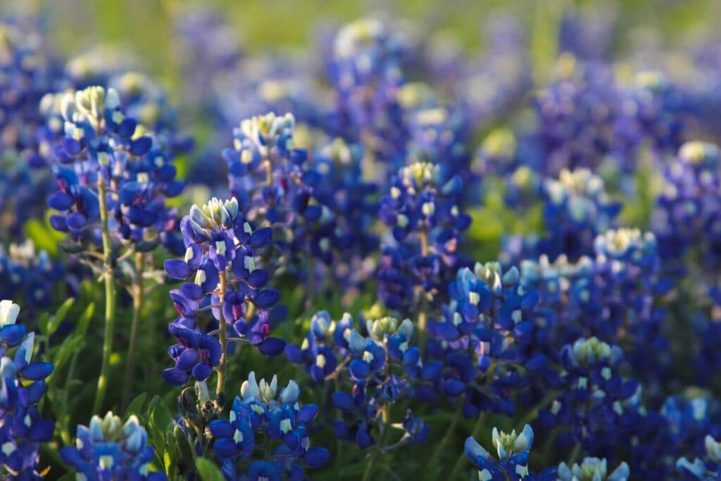 A close up photo of bluebonnet flowers