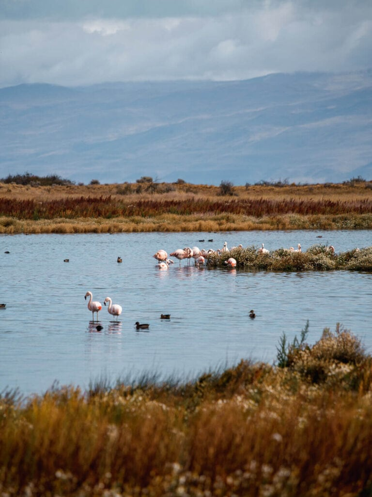 Flamingos stand in a laguna surrounded by ducks swimming in Argentina