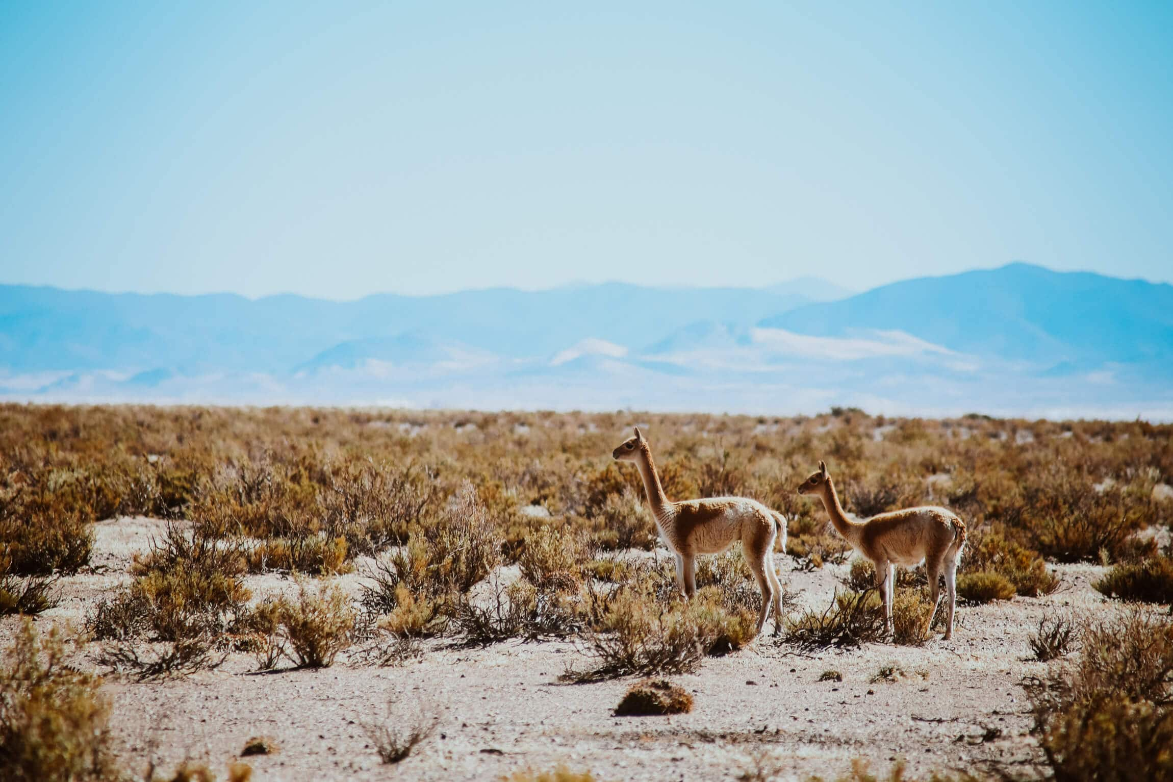 Two vicunas on the desert steppe
