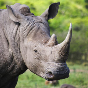 Hluhluwe-Imfolozi Park: Complete Guide to Kwa-Zulu Natal's Best Safari