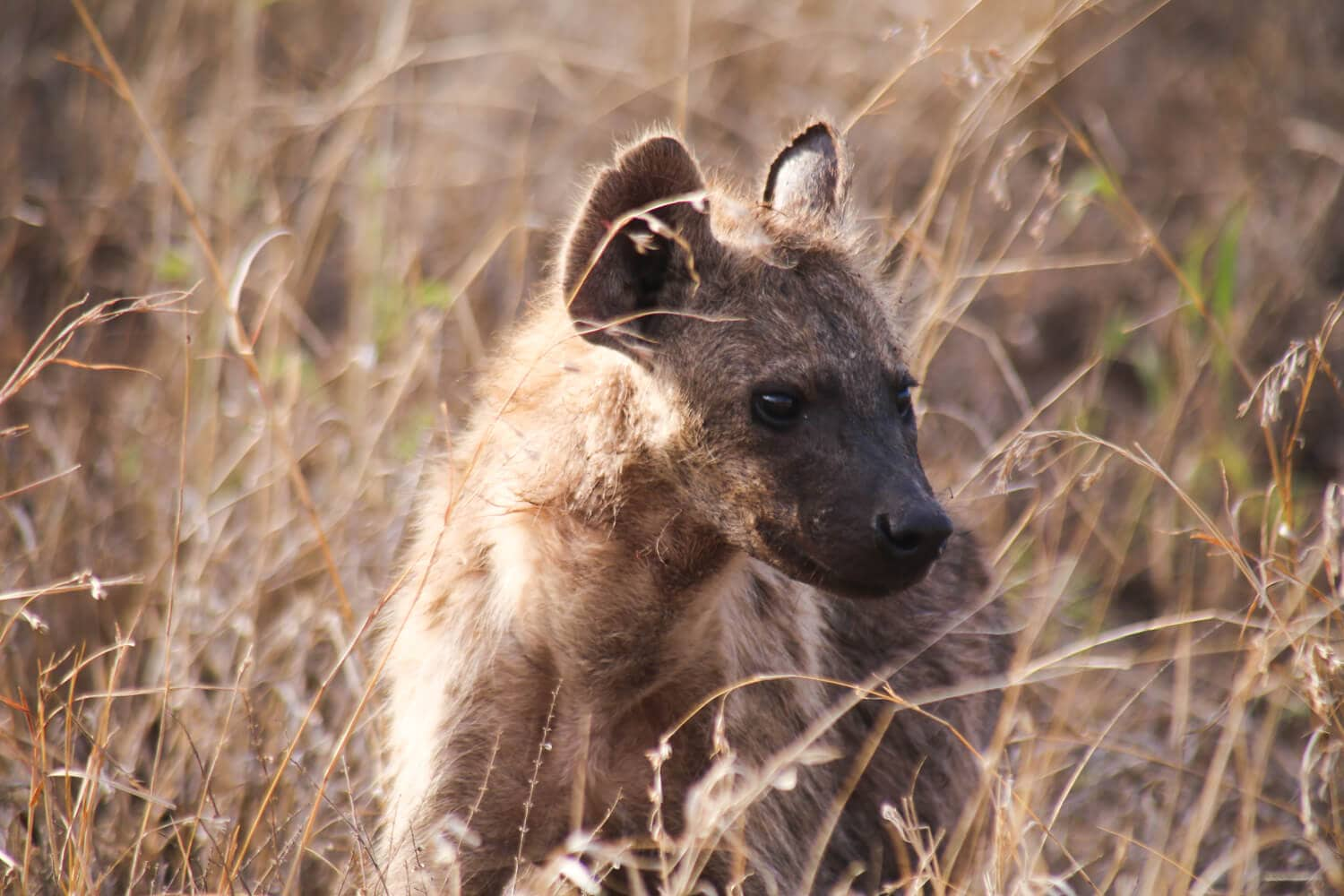 A young hyena stands among tall grass